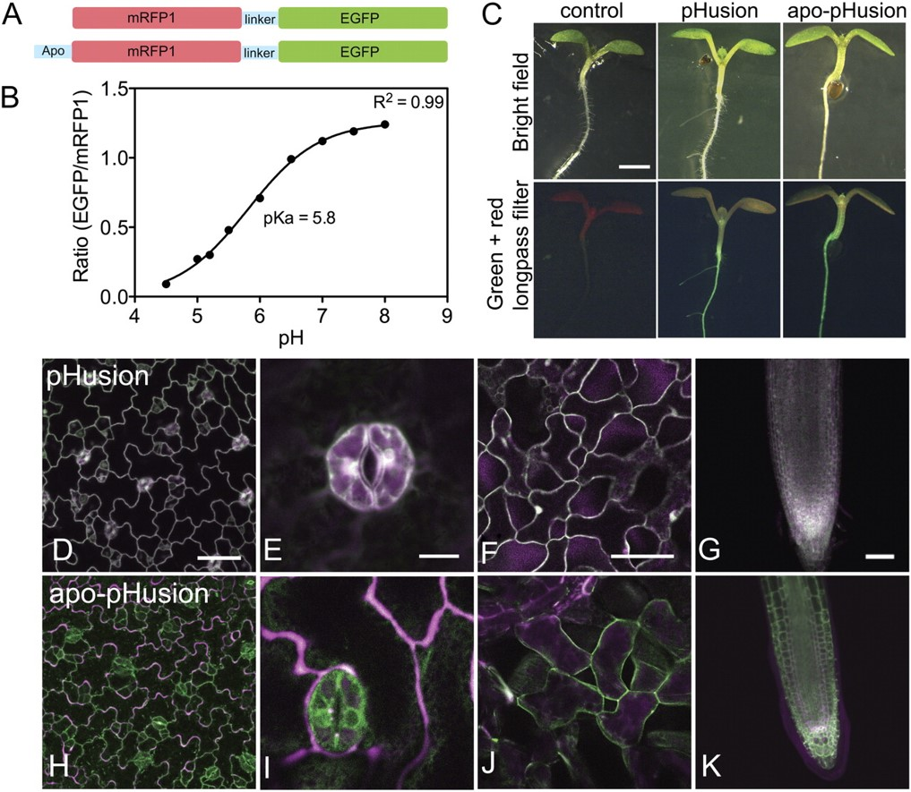pHusion reports on pH in all tissues and cell types of Arabidopsis thaliana