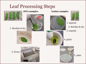 Leaf_Processing