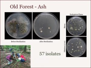 OldForest_Ash